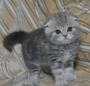 порода кошек британец вислоухий фото. порода кошек британец вислоухий фото 2.